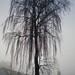 Winter Birke - Winter birch