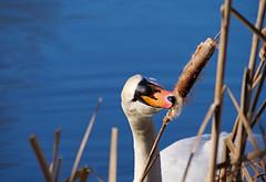 Mmmm, tasty... (Matt C68) Tags: swan muteswan cygnusolor bird waterfowl pond water bulrush reedmace