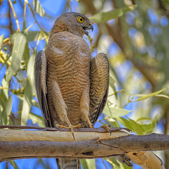 40.5°C, alice river - brown goshawk #3 (Fat Burns ☮) Tags: browngoshawk accipiterfasciatus hawk raptor bird australianbird fauna australianfauna nature nikond500 nikon200500mmf56eedvr barcaldine aliceriver queensland australia outback outdoors lagooncreekbarcaldine qld