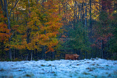 Autumn Scene in Vermont (USA) - A cow standing in the grass field covered with frost in a cold morning with autumn forest background. (baddoguy) Tags: killington vermont usaoctober2013