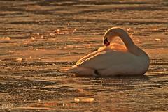 Gefiederpflege... (peterphot) Tags: swan schwan sachsen winter sony tamron600 wildanimals wasservögel