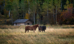 timeless (laura's Point of View) Tags: horse horses equine ranch farm autumn fall landscape rustic old cabin vintage west western beauty beautiful jacksonhole jackson wyoming unitedstates pasture lauraspov lauraspointofview