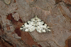 Photo of 70.266 Dotted Carpet (Alcis jubata), Burntisland, Fife