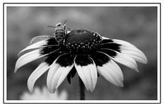Rudbekia B&W. (andrzejskałuba) Tags: poland polska pieszyce dolnyśląsk silesia sudety europe plant plants roślina rośliny rudbeck rudbekia macro monochrome natura nature natural natureshot natureworld nikoncoolpixb500 naturephotographer nopeople beautiful beauty beautyofnature biały black blackwhite bw czarny garden ogród outdoor owad insect pszczoła bee white lato summer szary grey kwiat kwiaty flower flora floral flowers focusonforeground fauna 1500v60f