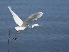 Great egret (Ardea alba,ダイサギ) (Greg Peterson in Japan) Tags: japan birds 草津市 野鳥 kusatsu ダイサギ shiga wildlife egretsandherons 滋賀県 shigaprefecture