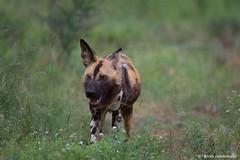 African Wild Dog (leendert3) Tags: leonmolenaar southafrica krugernationalpark wildlife wilderness wildanimal nature naturereserve naturalhabitat mammal africanwilddog painteddog ngc npc coth5