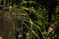Polystachya transvaalensis (zimbart) Tags: flora mozambique angiosperms asparagales chimanimanimts nhamadziriver orchidaceae polystachya monocots africa polystachyatransvaalensis