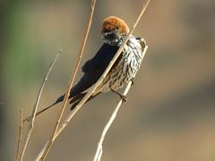 Lesser Striped Swallow  /  Kleinstreepswael (Pixi2011) Tags: swallow birds krugernationalpark southafrica africa wildbirds nature