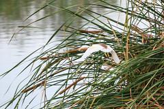 Squacco Heron (chlorophonia) Tags: squaccoheron birds ardeidae vertebrates animals animalia ardeolaralloides egretsandbitterns herons kavangoregion namibia