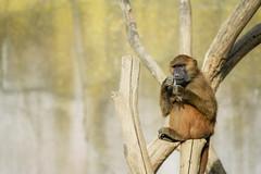 Babouin de Guinée (olivier.ghettem) Tags: zoodeparis zoodevincennes zoo parczoologiquedeparis paris afrique africa babouindeguinée babouin singe primate guineababoon baboon papiopapio