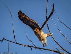Departure time (Bill Bowman) Tags: redtailedhawk buteojamaicensis whiterockstrail boulderopenspace lateafternoonlight birdinflight