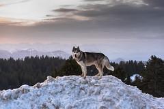 Nakhan (Nicomonaco73) Tags: mont revard husky sibérien dogs dog chien sunrise lever de soleil montagne savoie alpes paysage nature landscape nikon d750