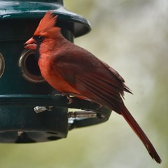 Male cardinal - Illinois (stevelamb007) Tags: male cardinal feeder bird lincolnshire illinois nikkor 300mmf4 nikon d7200 stevelamb