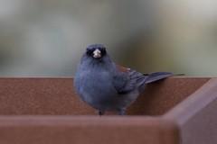 Dark-eyed Junco (Tom Isaacson) Tags: birds arapahoecounty backyard