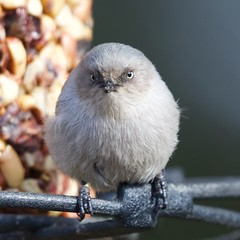 Feather-Ball (Tom Isaacson) Tags: birds arapahoecounty backyard