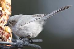 Bushtit (Tom Isaacson) Tags: birds arapahoecounty backyard