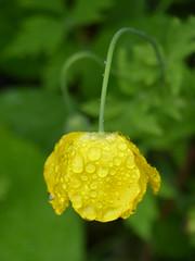 Raindrops Falling On My Head ... (Marit Buelens) Tags: eu uk britain cymru wales fachwen llanddeiniolen flower bloem blume fleur yellow green groen geel gelb jaune vert poppy wildflower rain regen walk