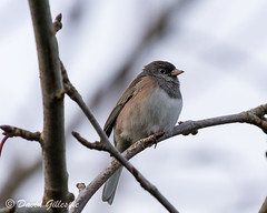 Dark-eyed junco (DavidRGillespie) Tags: darkeyedjunco juncohyemalis black winter bird grey branch perch