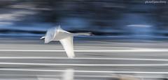 JMC_4397swanpan1jsm (JayEssEmm) Tags: bird birds swan swans flight flying fly massachusetts
