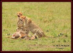 FEMALE CHEETAH WITH HER CUB (Acinonyx jubatus).....MASAI MARA....SEPT 2017. (M Z Malik) Tags: nikon d3x 200400mm14afs kenya africa safari wildlife masaimara keekoroklodge exoticafricanwildlife exoticafricancats flickrbigcats cheetahfamily cheetahcubs acinonyxjubatus ngc