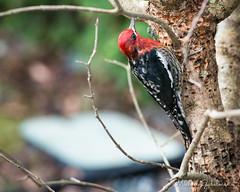 Sapsucker (Michael Gabelmann) Tags: bird redbreastedsapsucker sapsucker tree red