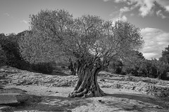 Olivenbaum (AWe63) Tags: olivenbaum olivetree olive schwarzweiss bw blackwhite monochrom südfrankreich france frankreich provence pentax pentaxk1mkii luminar4 luminar madewithluminar andreasweyermann cawe63