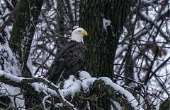 eagleInSnow (peakdan) Tags: nature animal bird eagle baldeagle missouri smithvillelake snow birdofprey raptor