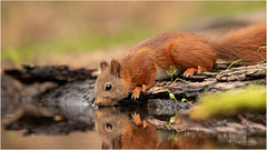 Thirsty (Gertj123) Tags: mammals squirrel netherlands nature hbn7 hide canon water wildlife summer reflection rodent eyes drinking dof bokeh