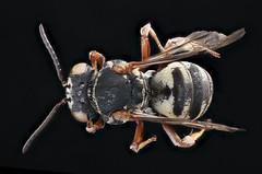 Triepeolus rhododontus, back, f, Talbot, MD_2019-10-21-19.06.23 ZS PMax UDR (Sam Droege) Tags: zerenestacker stackshot geologicalsurvey unitedstatesgeologicalsurvey departmentoftheinterior droege biml beeinventoryandmonitoringlaboratory bug bugs canon closeup macro insect patuxentwildliferesearchcenter pwrc usgs dofstacking stacking entomologist canonmpe65 animals animal bee bees apoidea hymenoptera pollinator nativebee entomology macrophotography usinterior taxonomy:binomial=triepeolusrhododontus poplarisland island eugenescarpulla