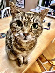 2020 24/366 1/24/2020 FRIDAY - When the boss calls you into her office... (_BuBBy_) Tags: when boss calls you her office puss tiberius kitty cat tabby 2020 24366 1242020 friday 366the2020edition 3662020 day24366 24jan2020