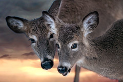 Happy Weekend! (Jenna Lynn Photography) Tags: weekend saturday whitetail deer doe fawn sunset fineart wildlife animal mammal portrait fauna