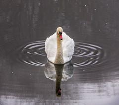 Swan (PaulEBennett) Tags: swan bolton pentaxk3ii