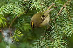 Goldcrest (airsoftrob1080) Tags: goldcrest bird birds nature wildlife outdoors outside yellow green white black canon canon7dmkii