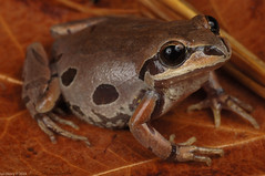 Ornate Chorus Frog (Pseudacris ornata)