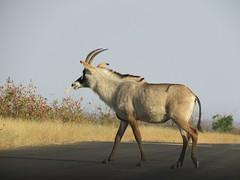 Roan  ( antelope ) (Pixi2011) Tags: antelope krugernationalpark africa wildlife wildlifeafrica wildanimals animals nature