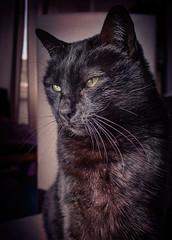 FLUFFY (Pepenera) Tags: fluffy smileonsaturday portrait photography pets cat cats black blackbeauty blackcat fotografia gatto gato