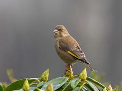 Greenfinch (François dt) Tags: canon 7dmarkii canon7dmarkii nature bird songbird finch