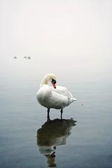 Swan (jovani.) Tags: bird water see sea ocean lake beach swan fogy