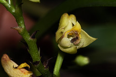 Polystachya transvaalensis (zimbart) Tags: angiosperms flora orchidaceae mozambique polystachya monocots asparagales chimanimanimts nhamadziriver africa polystachyatransvaalensis
