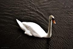 (Sylwia Gryciuk) Tags: swan bird pond lake water animal