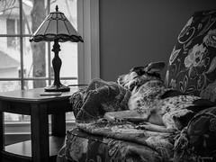 A Dog & A Window (jiroseM43) Tags: dog pet australiancattledog bw olympus lumixgvario35100f28 em1markii m43