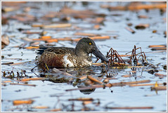 Northern-Shovelor-Male (John David Hutchison) Tags: duck shoveler
