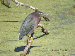 Green Heron (Butorides virescens) (Gerald (Wayne) Prout) Tags: greenheron butoridesvirescens animalia chordata aves neornithes neognathae neoaves pelecaniformes ardeidae butorides virescens green heron herons bird birds avian animal animals fauna wadingbirds wildlife nature bananacreekmarsh alligatoralleytrail circlebbarreserve cityoflakeland polkcounty florida usa prout geraldwayneprout canon canonpowershotsx60hs powershot sx60 hs digital bridge camera photographed photography duckweed bananacreek marsh circleb bar reserve conservation city lakeland polk county stateofflorida