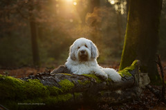 Shane (dewollewei) Tags: oldenglishsheepdog oldenglishsheepdogs old english sheepdog sheepdogs shane brwyn shaved puppylook woods dog dogs fairy walk white oes bobtail dewollewei