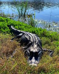 Sunning at 40-Acre Lake at Brazos Bend State Park (1/24/2020) (stalnakerjack) Tags: naturephotography wildlife brazosbendstatepark reptiles alligators alligator