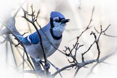 looks of the blue jay - the angelic look (robertskirk1) Tags: nature outdoor wildlife animal bird blue jay mclean virginia va fairfax county kent gardens park