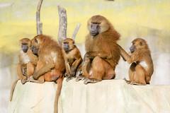 Babouins de Guinée (olivier.ghettem) Tags: zoodeparis zoodevincennes zoo parczoologiquedeparis paris afrique africa babouindeguinée guineababoon papiopapio baboon primates singes babouins