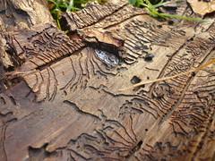 Borkenkäfer-Spuren (Jörg Paul Kaspari) Tags: osburgerhochwald winter borkenkäfer spur rinde gänge muster pattern gangmuster bark beetle