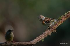 _JRH4875 (jeanrene31240) Tags: oiseaux pinsons pinsonsdesarbres mazères ddo domainedesoiseaux domainedesoiseauxdemazères ariège midipyrénées occitanie france