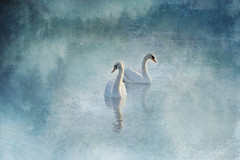 At the rivers edge (Pat Kelleher) Tags: texture swan painterly landscape minimal tranquil cork riverlee